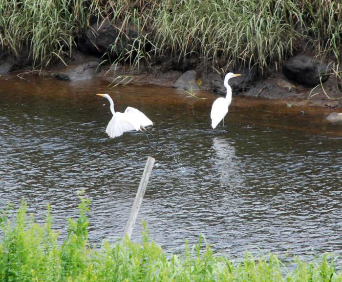 great egrets Jones River