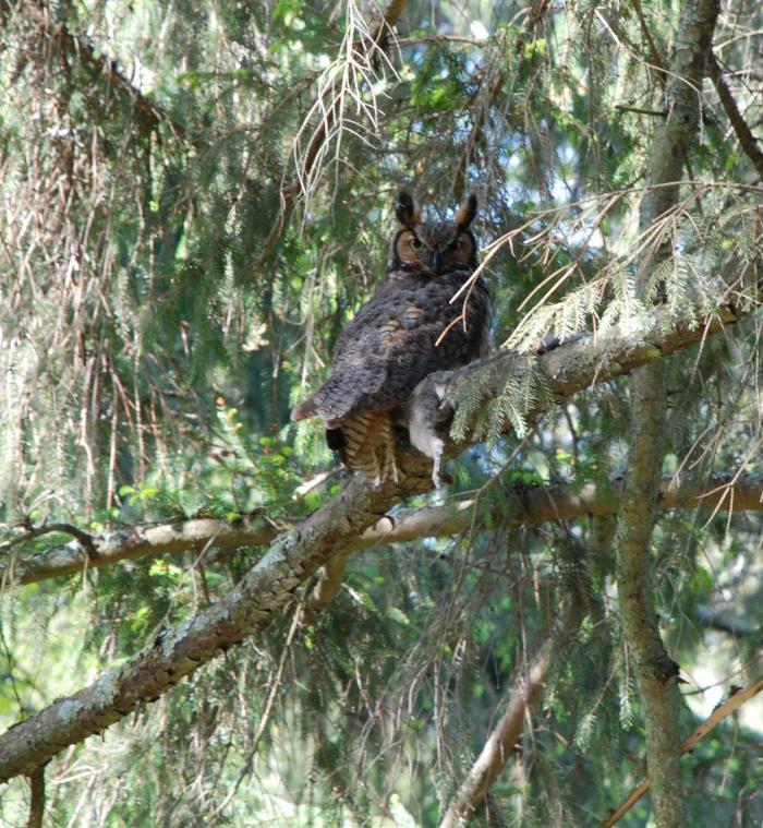gr horned owl (2)