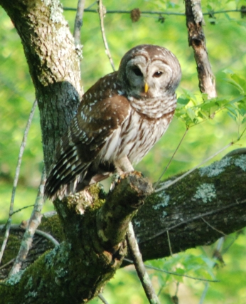 Roy's barred owl