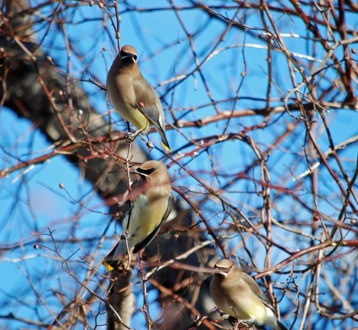 eel river waxwings three 2