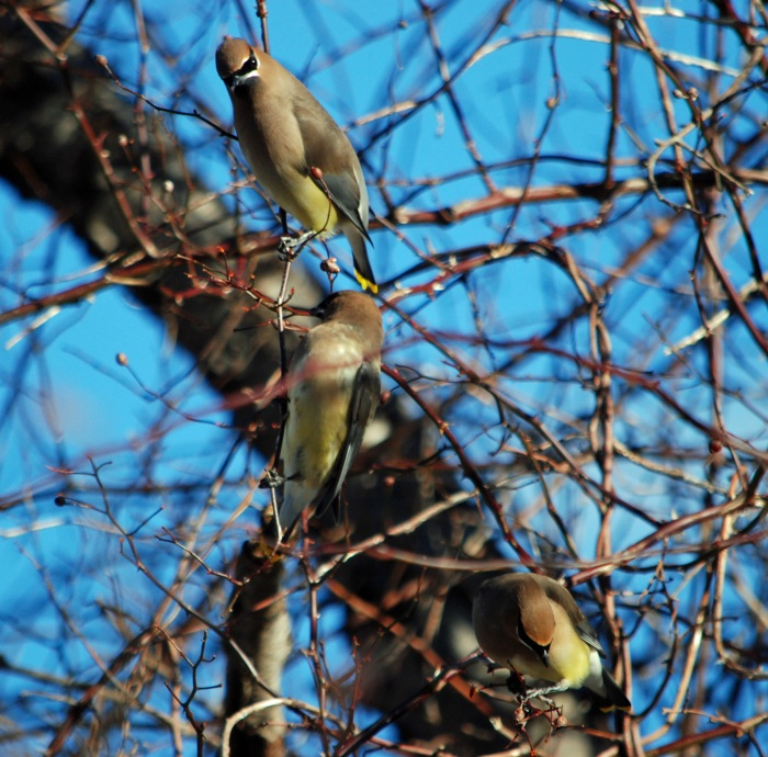 eel river waxwings three