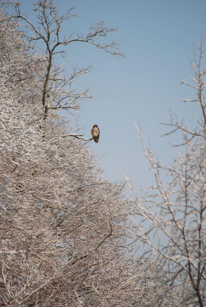jones snow redtail
