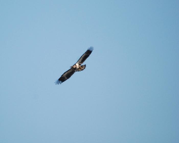 juvy eagle 2