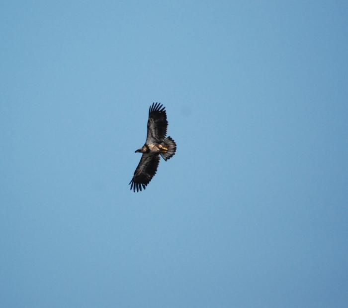 juvy eagle