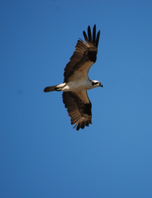 osprey May 2013