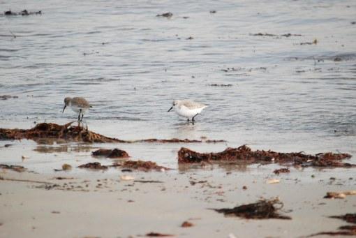 sanderling & dunlin
