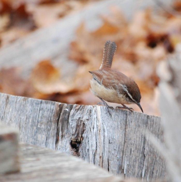 woodpile wren 2