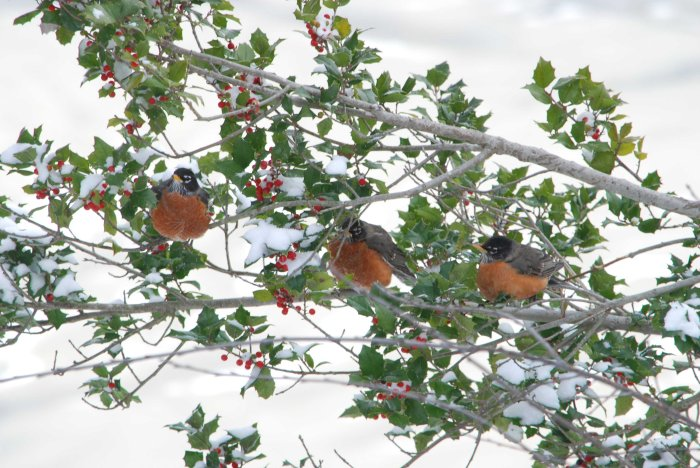 3 robins & holly