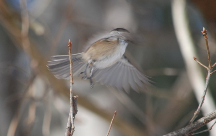 chicadee gone