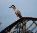 BC night heron 2
