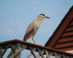 BC night heron