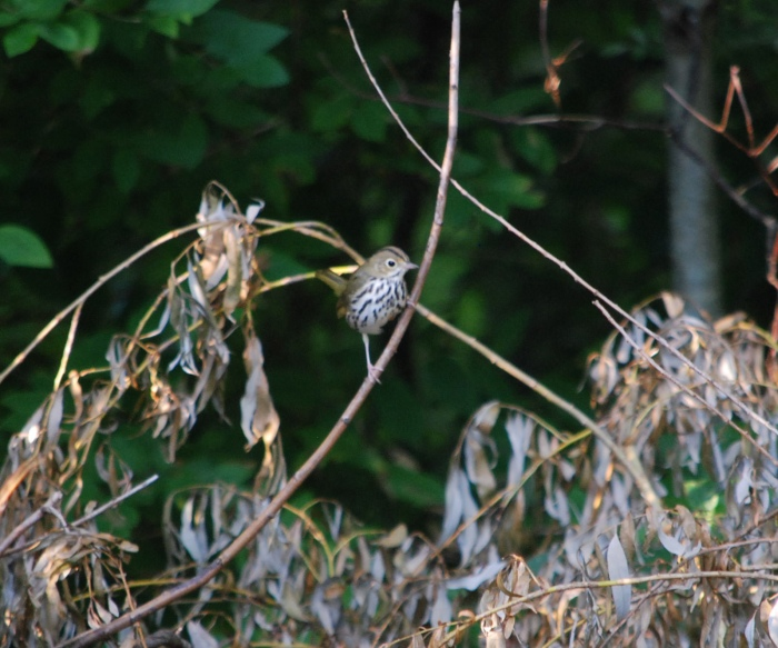 ovenbird in Maine July 2013