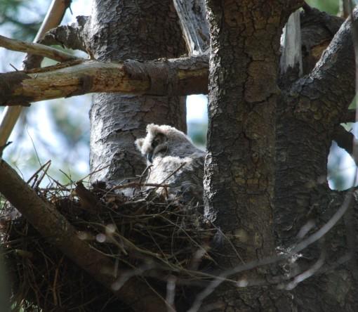 owlet in