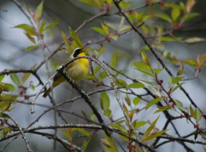 yellowthroat
