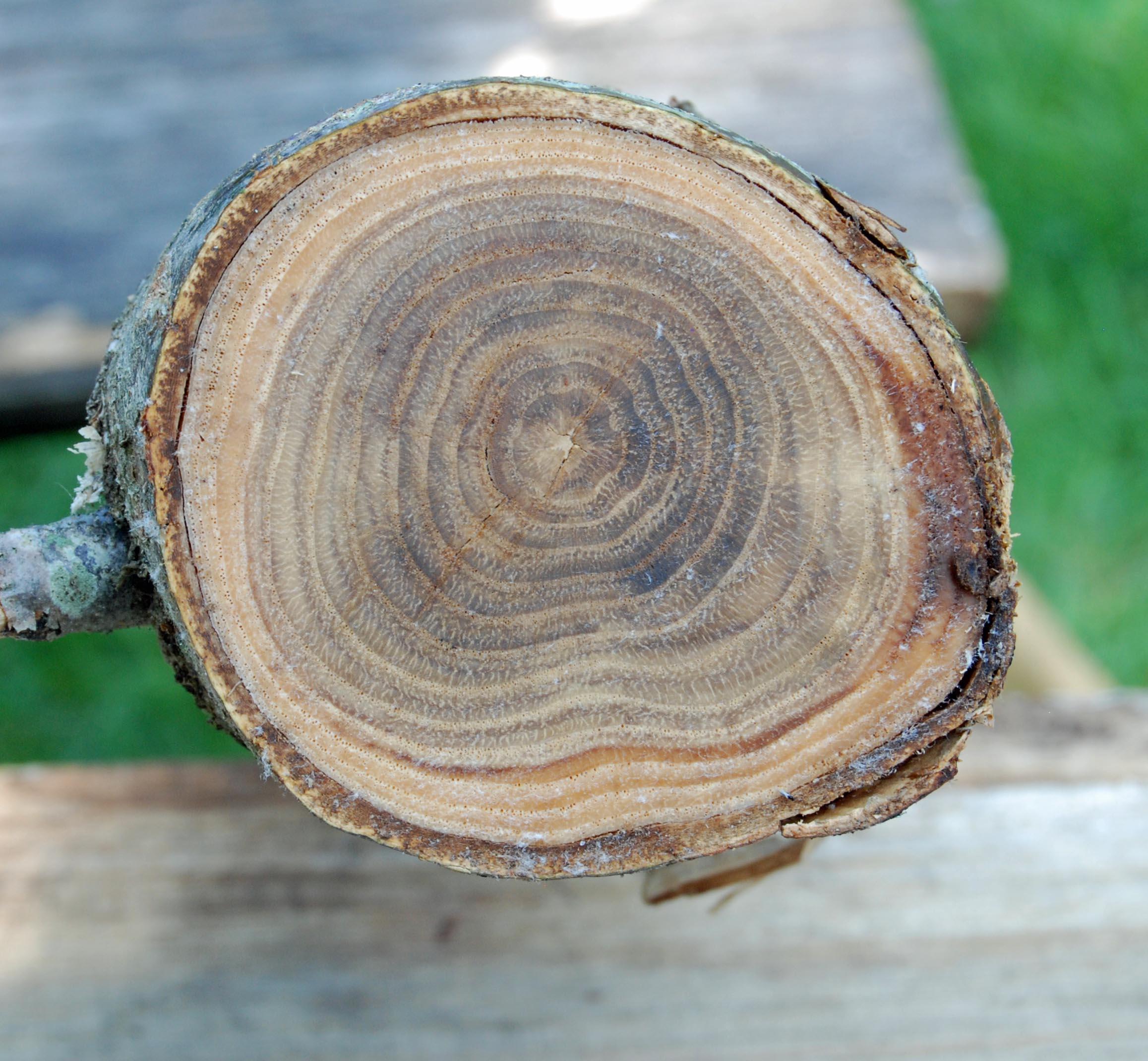 chestnut end grain
