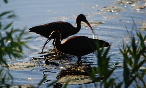 2 ibises