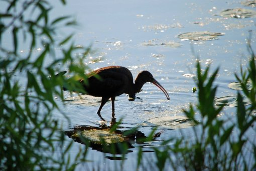 backlit glossy ibis