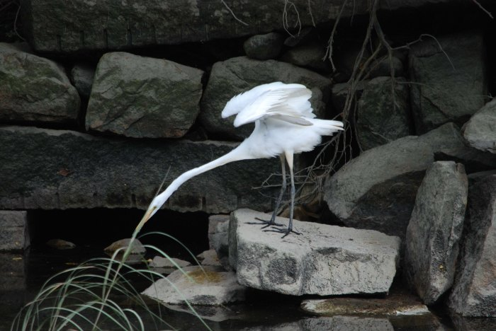 great egret poking