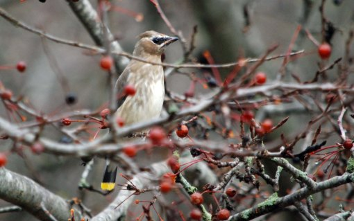 waxwing juvy
