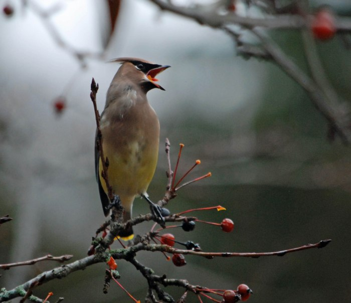 waxwing w crab apple