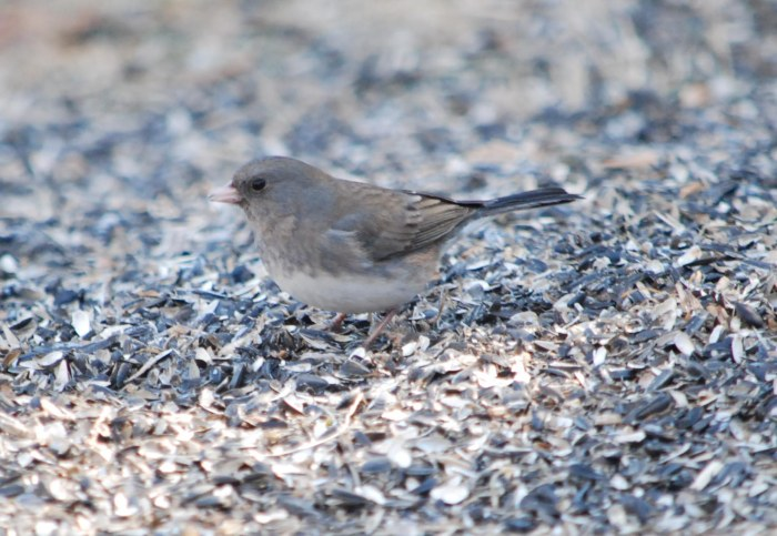female junco