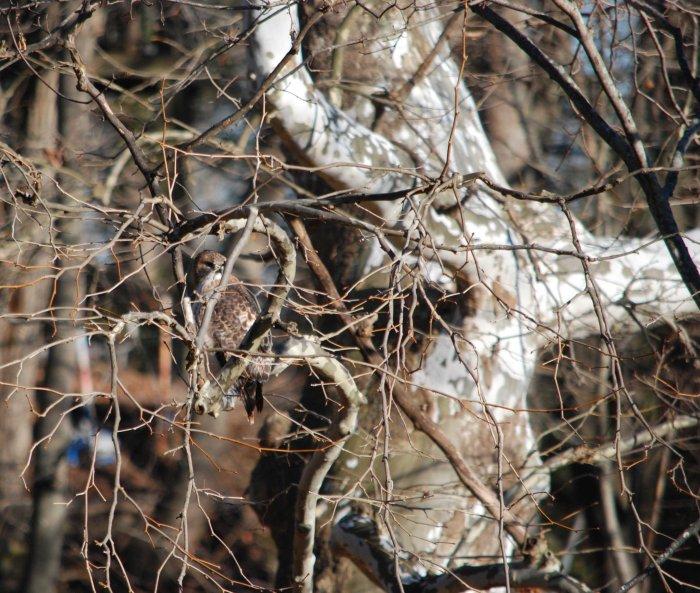 hidden redtail