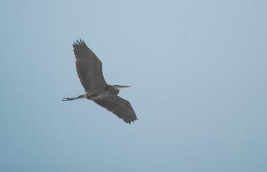 bg heron