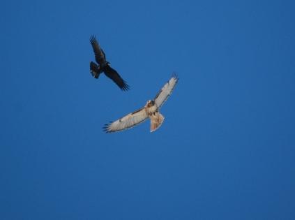 crow & hawk