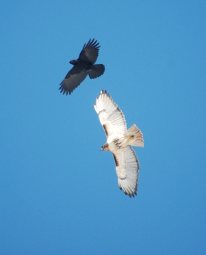 good crow shot