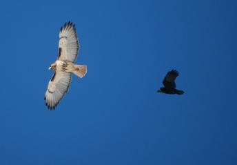 hawk & crow behind