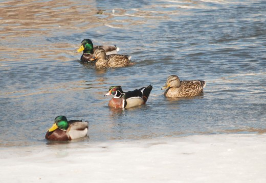 wood duck w mallards