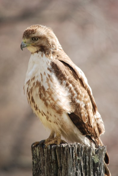 RT Hawk Apr 24