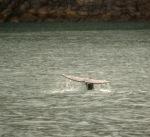 grey whale flukes