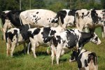 some of many Somerset cows