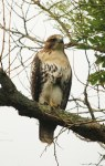 back home, our buteo, their buzzard