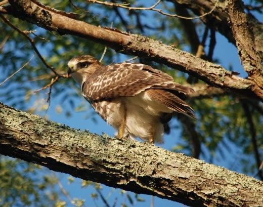 RT Hawk Aug 2