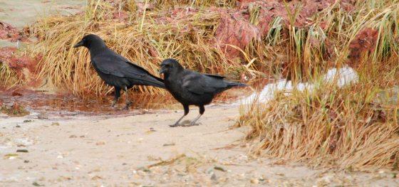 twa corbies