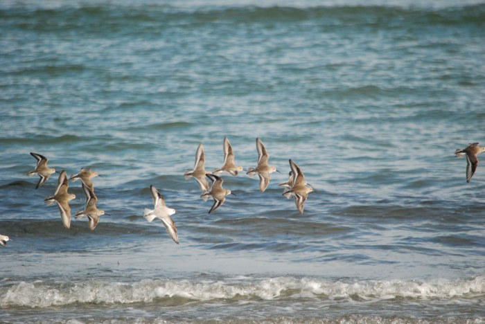 dunlin & sanderling flight