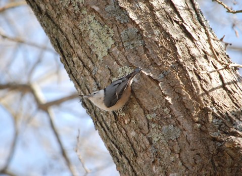 wb nuthatch good light