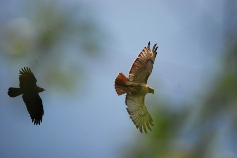 hawk & crow