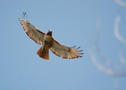 RT hawk