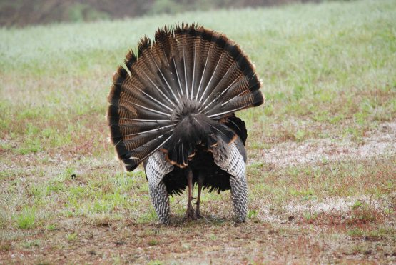 turkey rear view