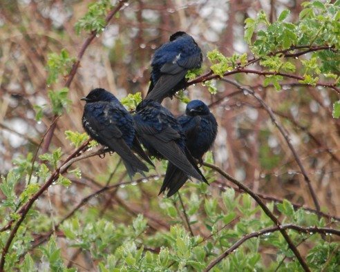 wet purple martins