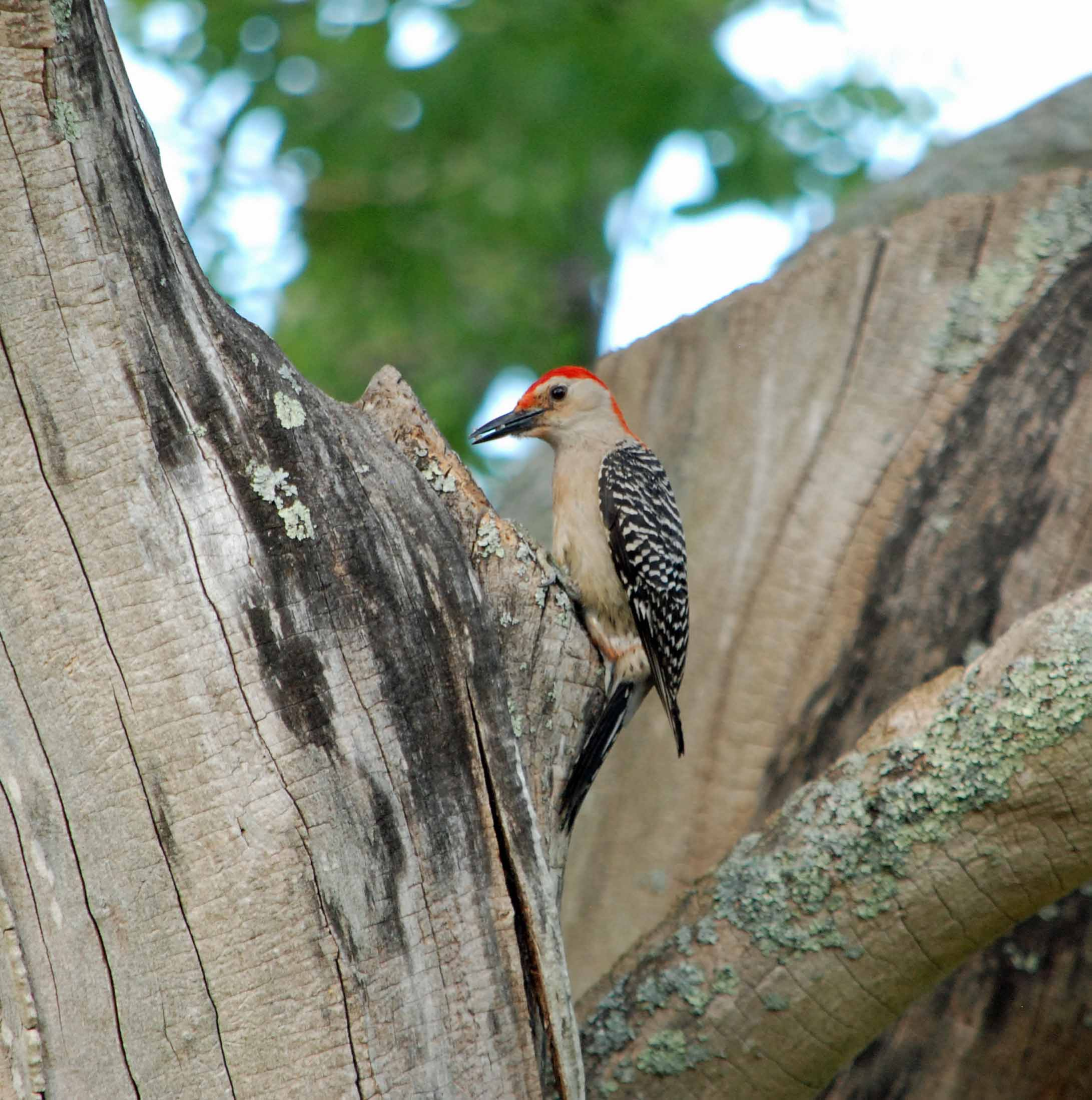 rb woodpecker