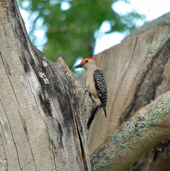 rb woodpecker