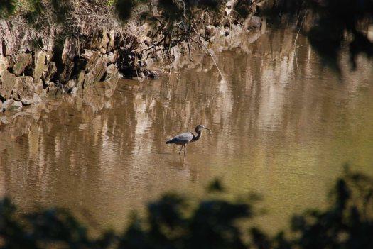 heron-w-fish